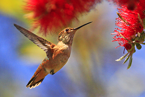 Hummingbird bottlebrush